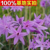 供应紫娇花、紫娇花小苗、紫娇花工程苗
