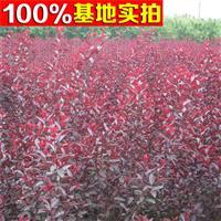 供应紫叶矮樱、紫叶矮樱小苗、紫叶矮樱工程苗