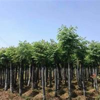 湖南常年供应8―20公分截杆、移栽、全冠栾树