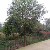 湖南常年供应2―20公分截杆、移栽、全冠香樟