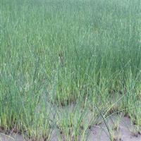 杭州萧山大量供应水葱1000万芽