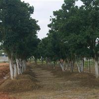 香泡树 香泡树价格 湖南香泡树价格 丛生香橼树