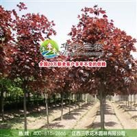 红国王挪威槭 红叶挪威槭  江西三农国王枫 非常好的行道树种