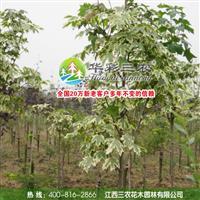 花叶挪威槭 高大落叶乔木 是三北及江浙地区优秀的彩叶乔木树种