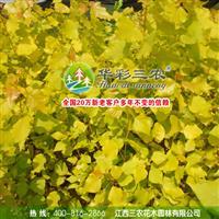 欧洲金叶杨和四季红杨搭配种植绿化彩化效果好 四季金叶杨