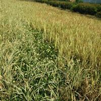 杭州萧山大量供应花叶芦竹300万芽