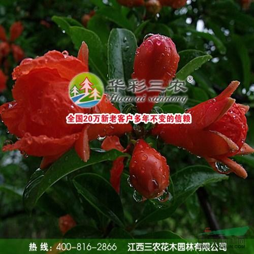 牡丹花石榴 红花石榴 花石榴苗 珍贵绿化观赏苗木新品种