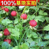 蛇莓 蛇莓苗 蛇莓小苗