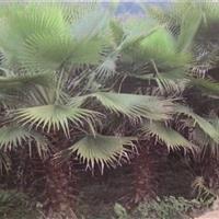 华棕   华盛顿棕榈   老人葵供应20-40公分