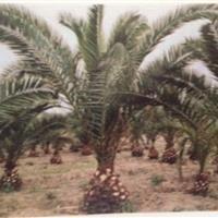加拿利海枣  长叶刺葵供应30-50公分