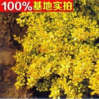金叶小檗 金叶小檗苗 金叶小檗小苗