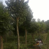 河南杜仲种植基地