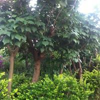 滇朴、香樟各种绿化苗木出售