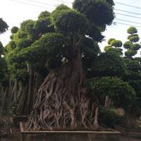 榕树盆景,2-7米,各种规格造型