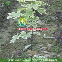 花叶挪威槭的栽培管理技术