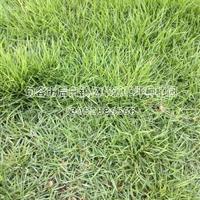 马尼拉草坪,暖季型草坪,结缕草系列,马尼拉草坪基地