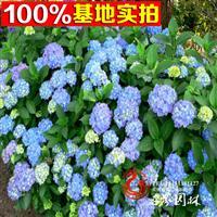 優質八仙花,八仙繡球花,大繡球花,草本繡球當年開花