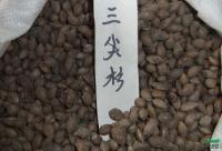 三尖杉种子供应/三尖杉种子图片