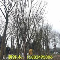 黄连木,丛生黄连木,四川黄连木,黄连木哪里有?