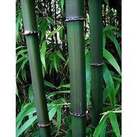 方竹 方竹批发 各种竹子规格齐全