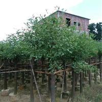 鸡冠刺桐 8-15公分 袋苗 自产自销