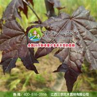 红国王挪威槭 红枫高大乔木 供应绿化彩叶苗木-日本红枫苗