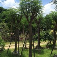 福建地区供应15分凤凰木袋苗