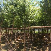 福建漳州大量供应福建山樱花袋苗