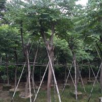 福建漳州供应台湾栾树(国庆花)袋苗