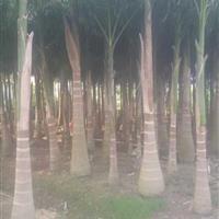 重庆大王椰子价格 重庆大王椰子报价 自产自销