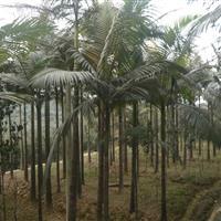 四川泸州地区供应假槟榔,董棕,老人葵