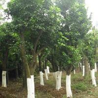 香泡树 香橼树  益阳香泡树 20公分香泡树 湖南臻诚园林