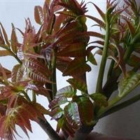 优质香椿苗树