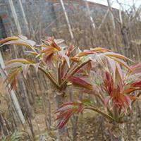 山东香椿树苗