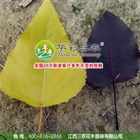 欧洲金叶杨的栽培管理技术