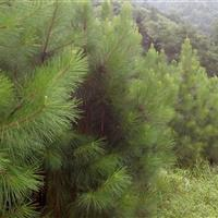 江西九江专供5--20公分湿地松
