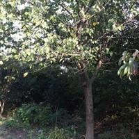 安徽合肥供应杏树、合肥杏树价格、肥西杏树供应商、15公分杏树
