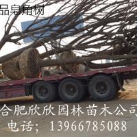 安徽肥西皂角价格、安徽合肥皂角树*新报价、肥西皂角供应商