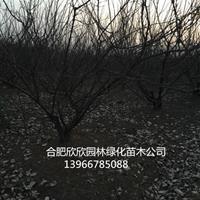 安徽供应梅李树、安徽肥西李子树供应、肥西梅李价格