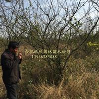 安徽合肥肥西欣欣园林供应1-20公分梅李、李子树供货商