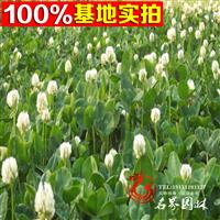 批供进口牧草、草坪兼用型草种:白三叶 牧草种子 品种全