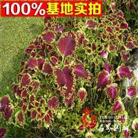 【彩叶草】供应各种阳台庭院种子 花卉 蔬果 中草药