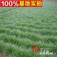 优质多年生 |黑麦草|混播草坪 修剪平整密实