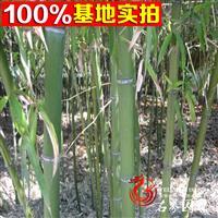 绿化工程苗竹类 庭院绿化雷竹 基地直销 量大优惠