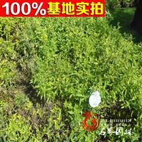 地被植物金叶莸 规格齐全 绿化工程苗木 金叶莸树苗