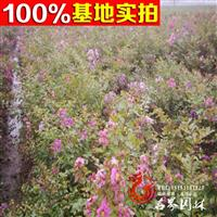基地批发【日本矮紫薇】丛生紫薇等各种园林绿化工程苗