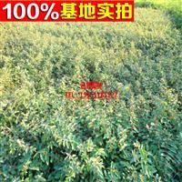 供应 园林景观苗木 金丝梅 金丝桃 庭院绿化群植于草地