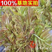 香椿树苗 当年可食用 红芽香椿 红油香椿树苗 可盆栽