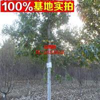 北美枫香 行道树乔木 长期供应 树型优美 园林绿化植物