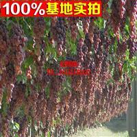 葡萄新品种 红地球葡萄树苗 葡萄苗 庭院栽种 当年结果苗